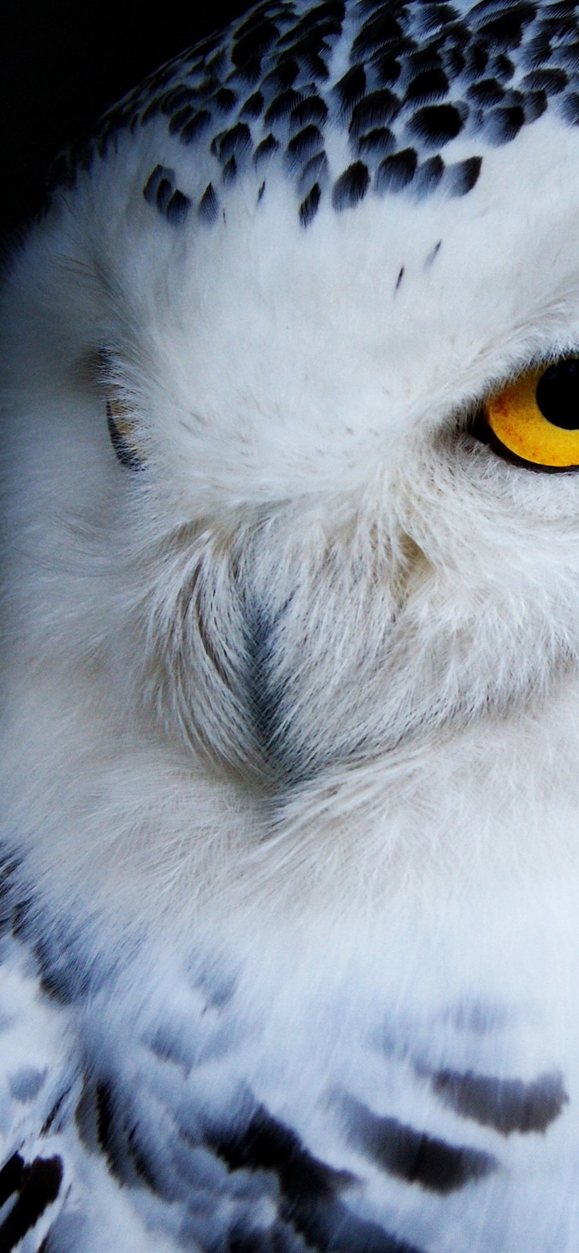 Wallpaper Owl Front View Black Background 3840x2160 Uhd 4k