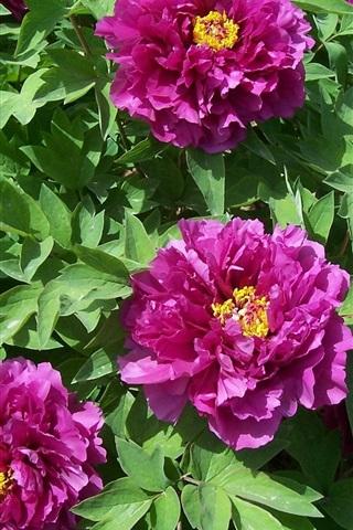 iPhone Wallpaper Purple peonies flowers, leaves, sunshine