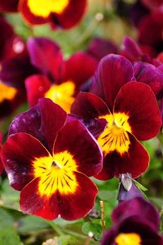 iPhone Wallpaper Red pansies, garden flowers