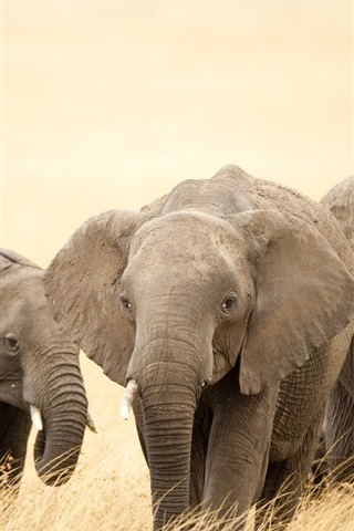 iPhone Wallpaper Safari, elephants, grass