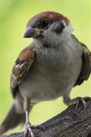 iPhone Wallpaper Sparrow look back, green background