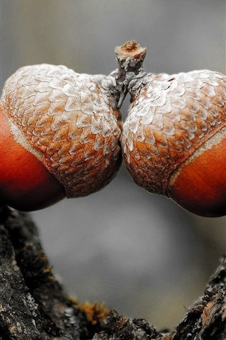 iPhone Wallpaper Two acorns, nut