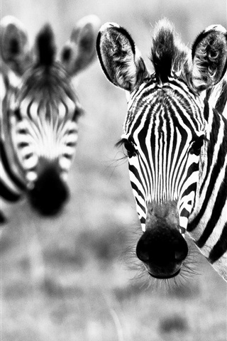 iPhone Wallpaper Two zebras, black and white picture
