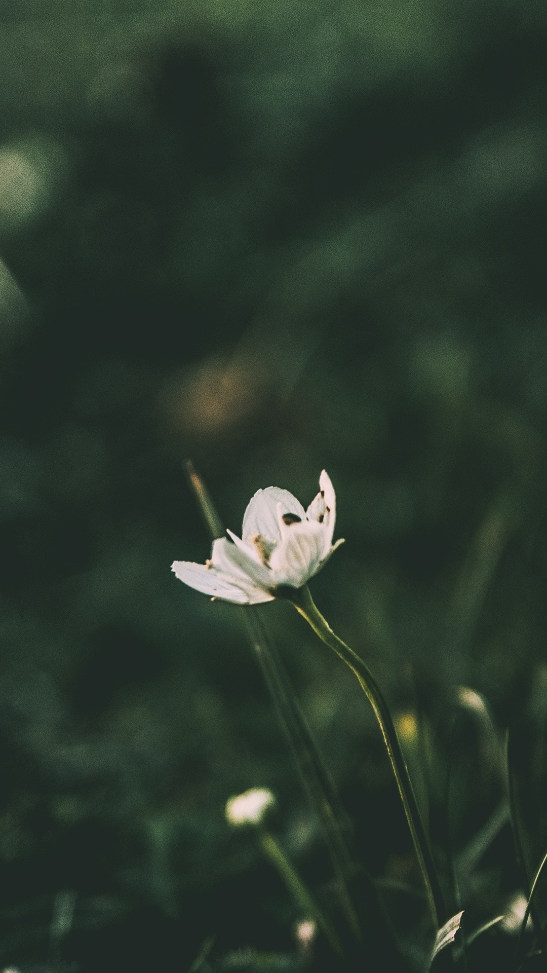 White Little Flower Blurry Background 1080x1920 Iphone 8766s