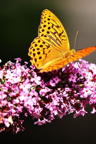 iPhone Wallpaper Yellow butterfly, pink flowers, black background