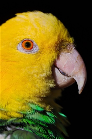 iPhone Wallpaper Yellow head parrot close-up