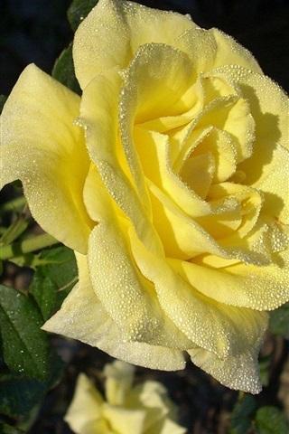 iPhone Papéis de Parede Rosa amarela, gotas de água, manhã