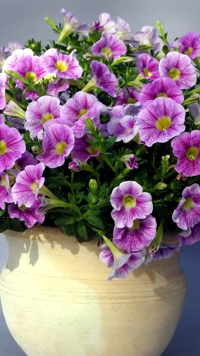 Купить цветы петунья для ваз