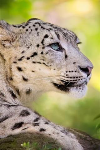 iPhone Wallpaper Big cat, snow leopard