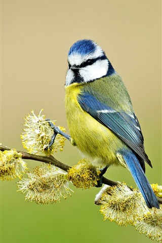 iPhone Wallpaper Blue tit, twigs, spring