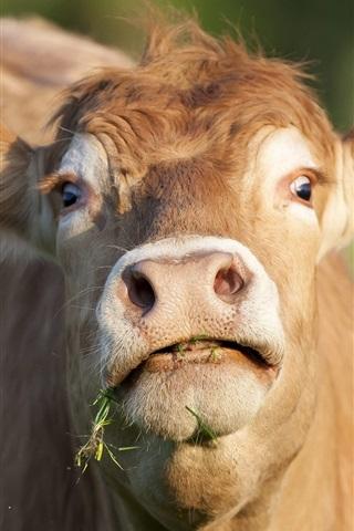 iPhone Wallpaper Cow look up, head