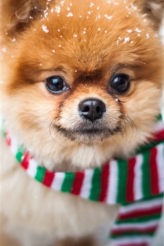 iPhone Wallpaper Cute dog front view, face, scarf, snow