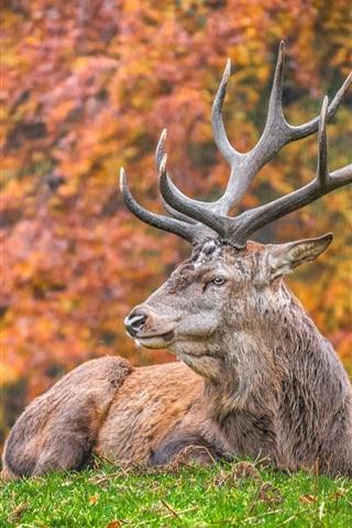 iPhone Wallpaper Deer rest on grass, horns