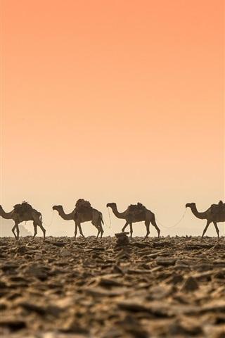 iPhone Papéis de Parede Deserto, camelos, amanhecer