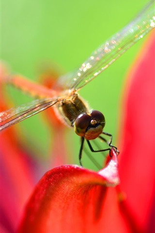 iPhone Wallpaper Dragonfly, red petals, macro photography