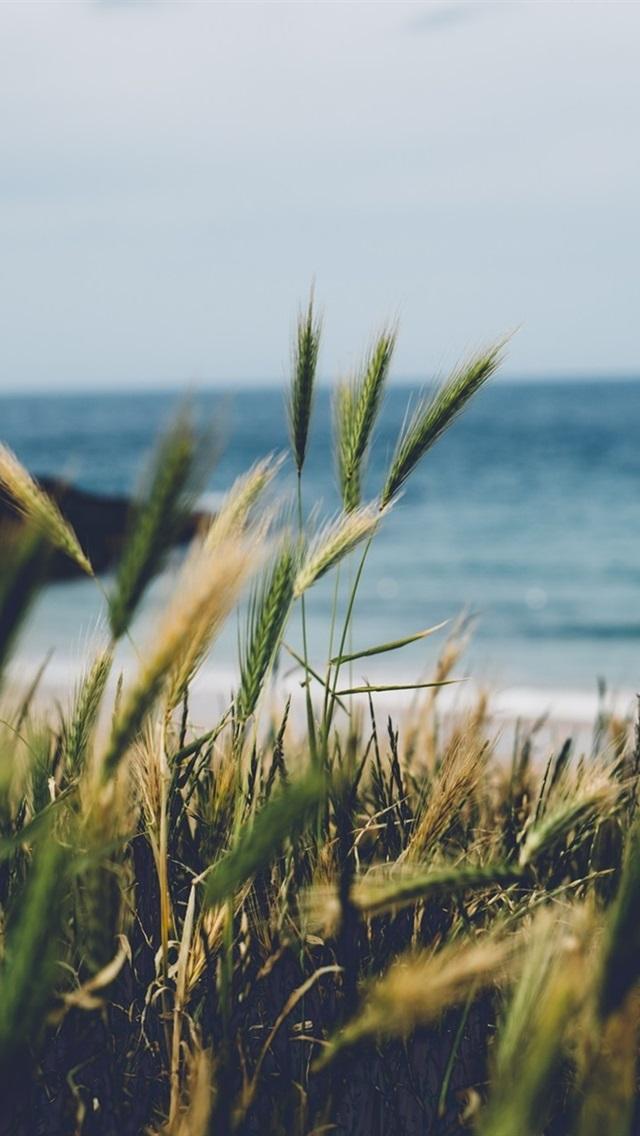 England Cornwall Wheat Seaside 640x1136 Iphone 5 5s 5c Se