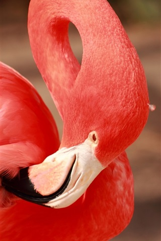 iPhone Wallpaper Flamingo, red feathers, beak, neck