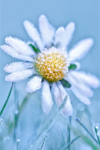 iPhone Wallpaper Frost daisy, cold