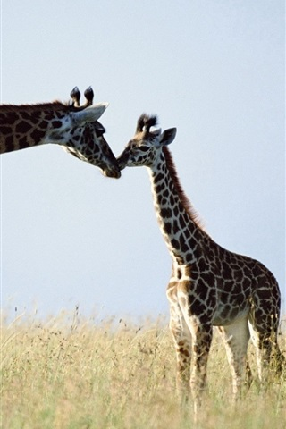 iPhone Wallpaper Giraffe, couple