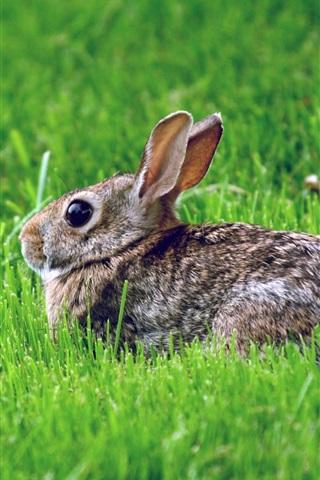 iPhone Wallpaper Gray rabbit, rest, grass