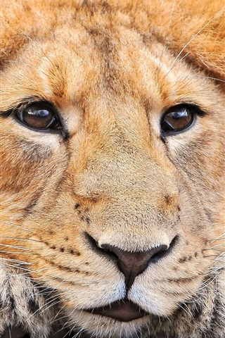 iPhone Wallpaper Lion face front view, eyes, nose