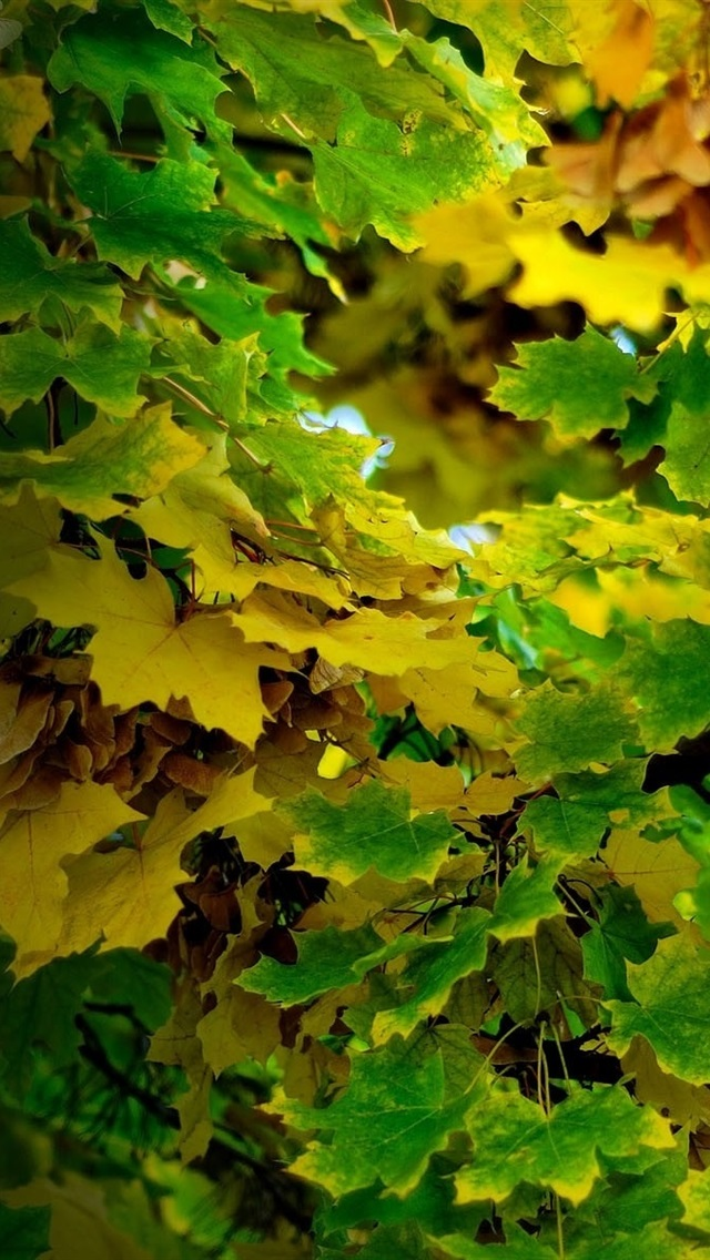 Maple Leaves Tree Green And Yellow Autumn 640x1136 Iphone 5 5s 5c Se Wallpaper Background Picture Image