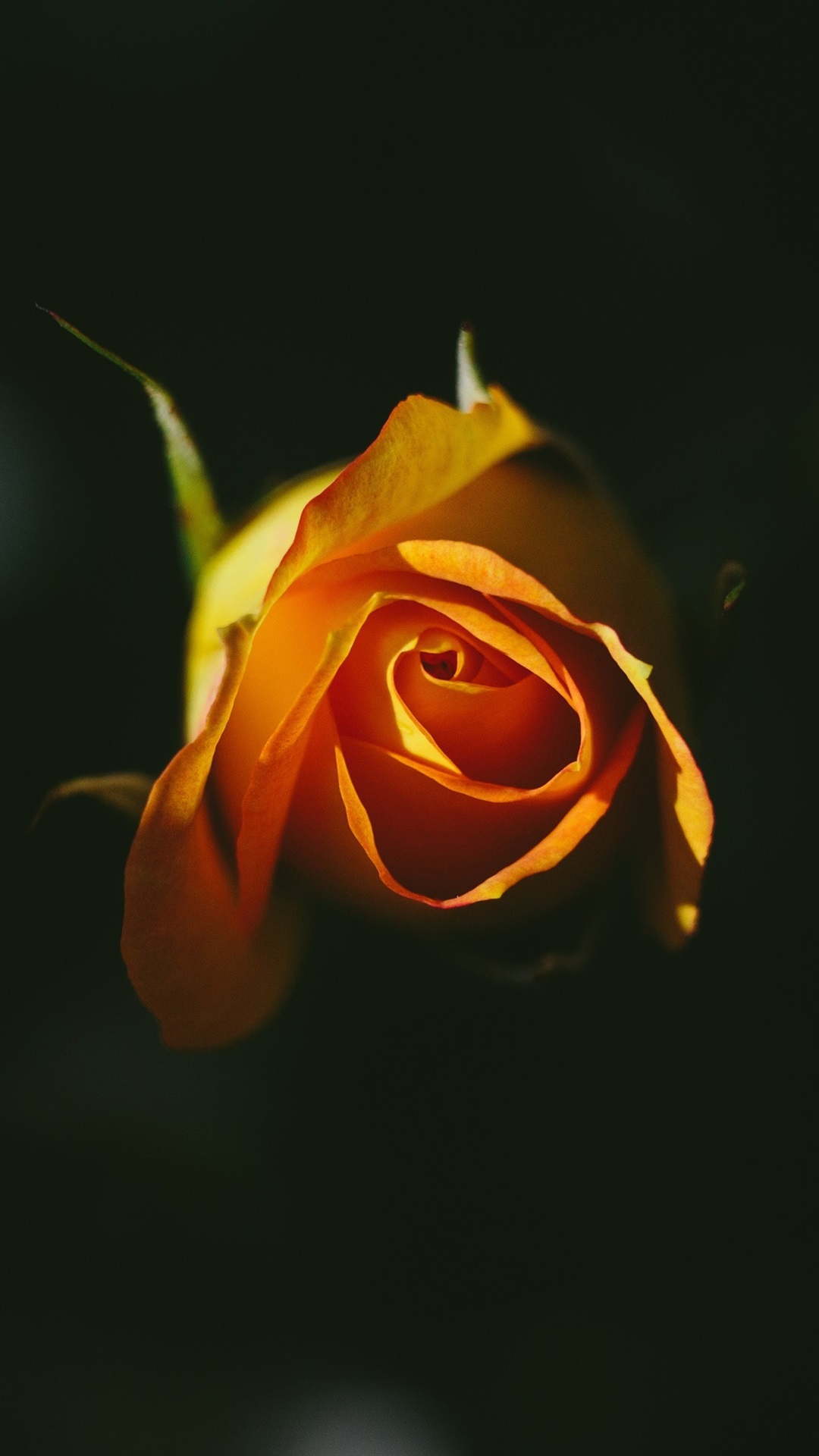 Orange Rose Black Background 1080x1920 Iphone 8 7 6 6s Plus Wallpaper Background Picture Image