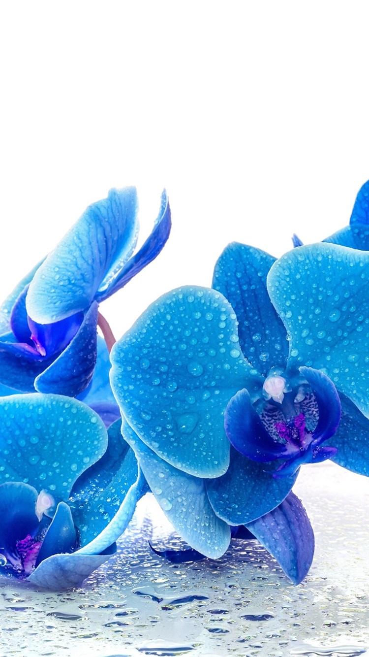 Phalaenopsis Flores Azules Gotas De Agua Fondo Blanco 750x1334