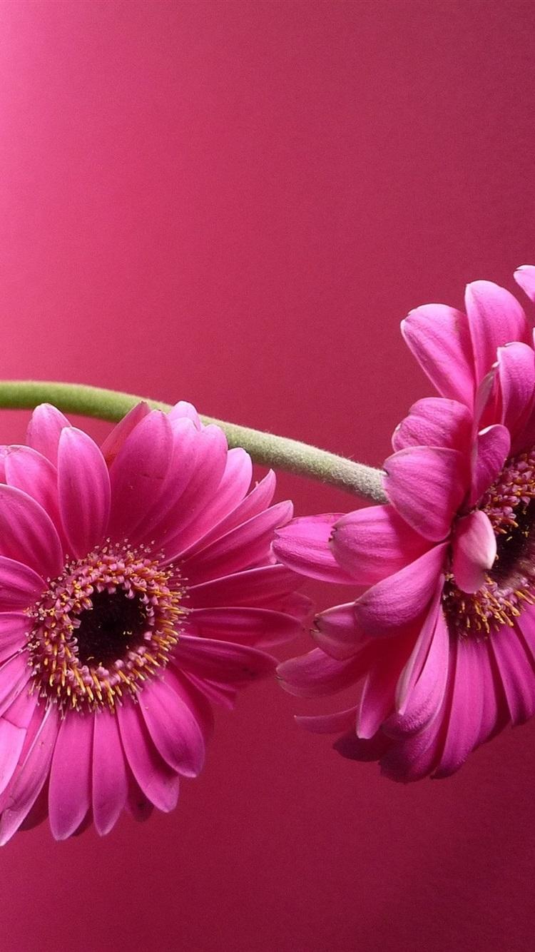 Flores De Gerbera Rosa Florero Fondo Rosa 750x1334 Iphone 8 7 6 6s