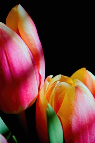 iPhone Wallpaper Pink tulips flowers, black background