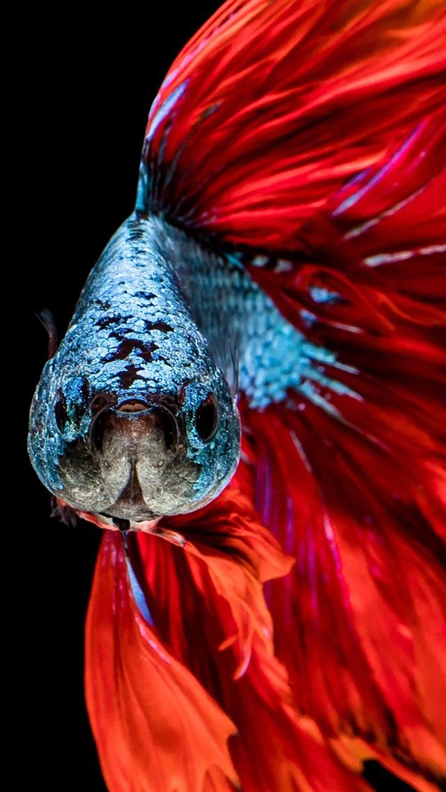 壁纸 红尾巴鱼 3840x2160 Uhd 4k 高清壁纸 图片 照片