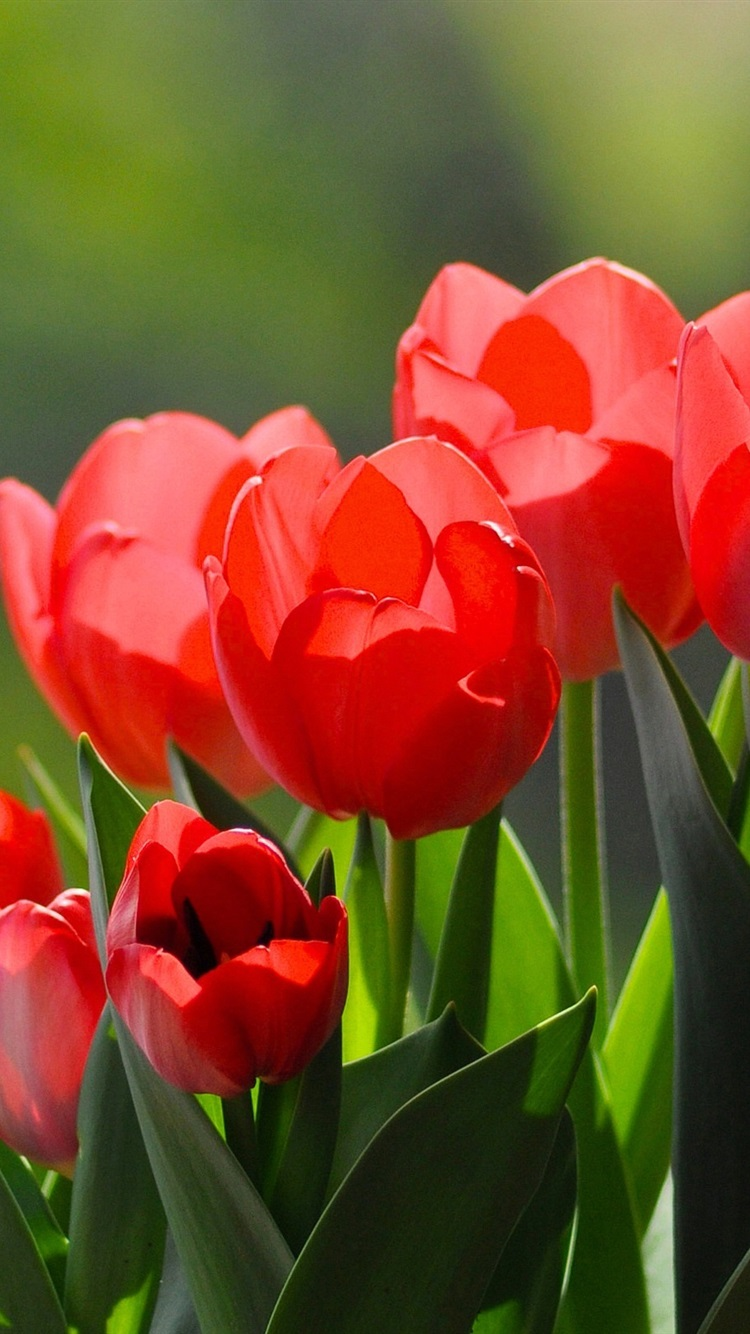 Wallpaper Red tulips, under sun 2560x1600 HD Picture, Image