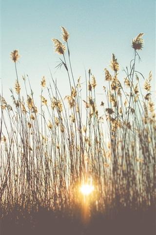 iPhone Wallpaper Reeds, grass, sunset, summer