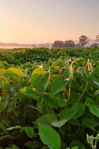 iPhone Wallpaper Soybean field, fog, dawn, morning