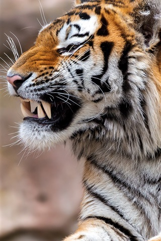 iPhone Wallpaper Tiger, rest, fangs