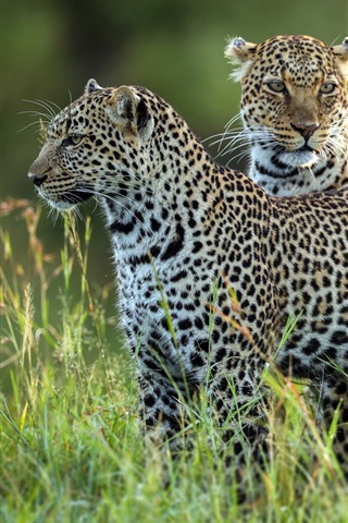 iPhone Wallpaper Two leopards, grass, wildlife