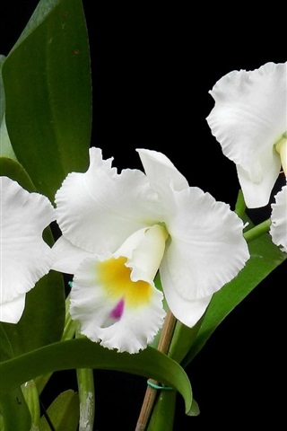 Weisse Orchideen Blumenphotographie 1920x1200 Hd