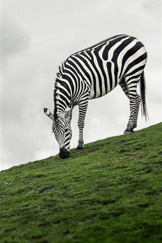 iPhone Wallpaper Zebra eat grass, slope, balloon