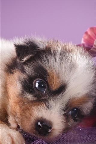 iPhone Wallpaper Australian shepherd, cute puppy, flowers