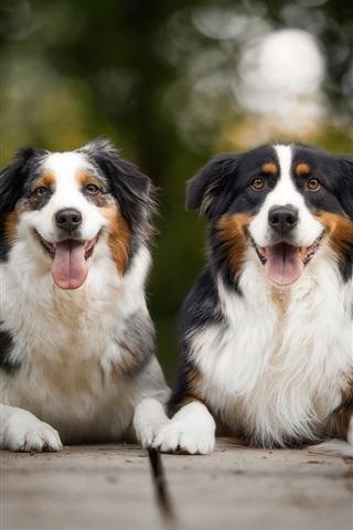 iPhone Wallpaper Australian shepherd, two dogs