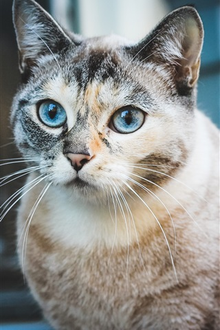 iPhone Wallpaper Blue eyes cat look, cute pet