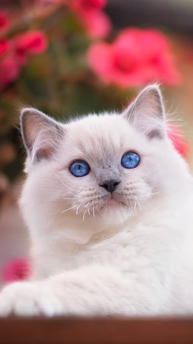 Blue Eyes White Cat 640x1136 Iphone 5 5s 5c Se Wallpaper Background