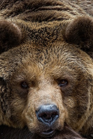 iPhone Wallpaper Brown bear look at you, face, eyes, portrait