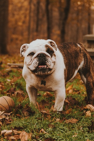 iPhone Wallpaper Bulldog play ball in the forest, autumn