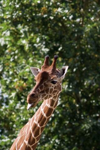 iPhone Wallpaper Giraffe, tongue, funny animals