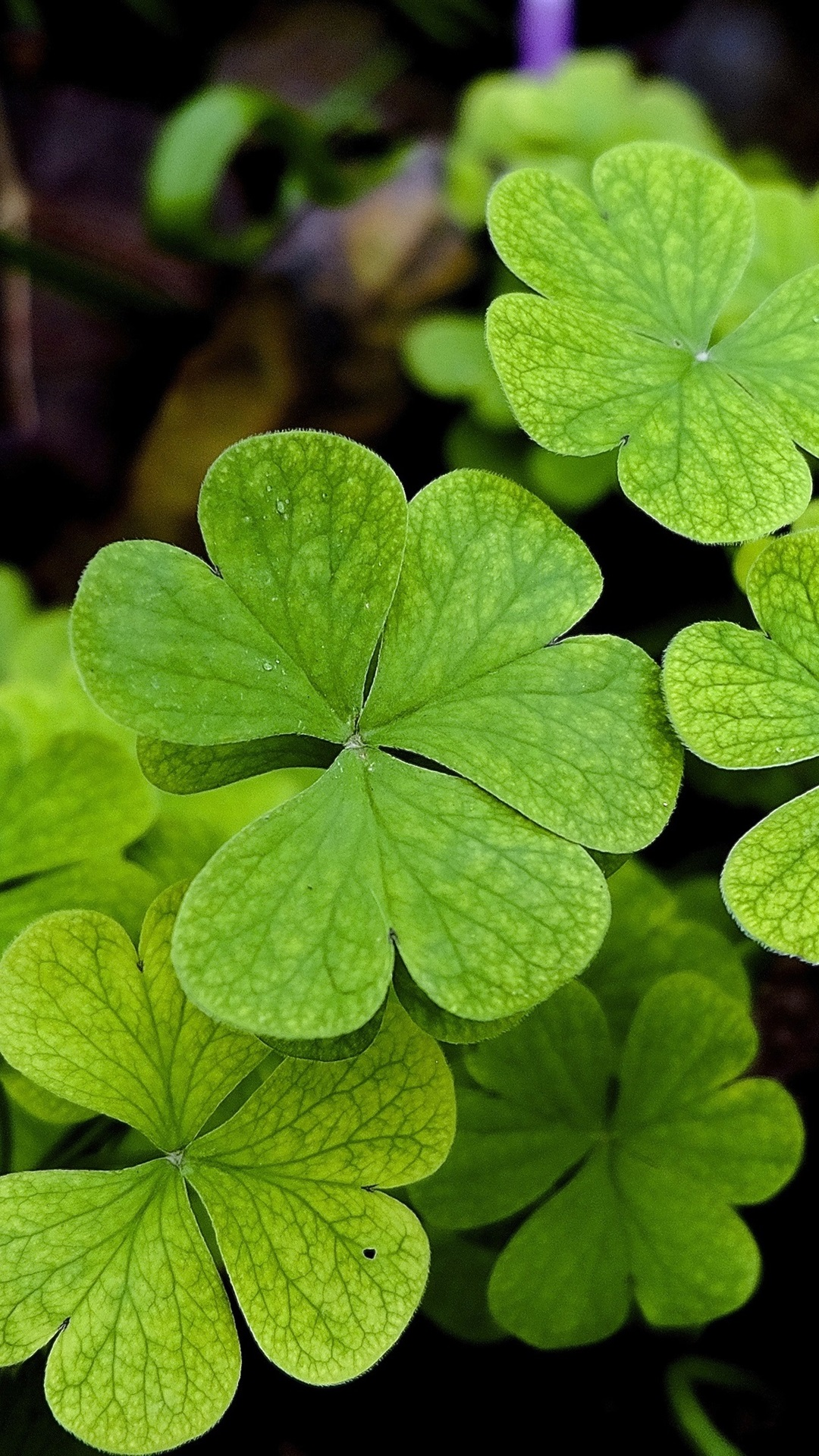 緑の葉 クローバー 植物 1080x1920 Iphone 8 7 6 6s Plus 壁紙 背景