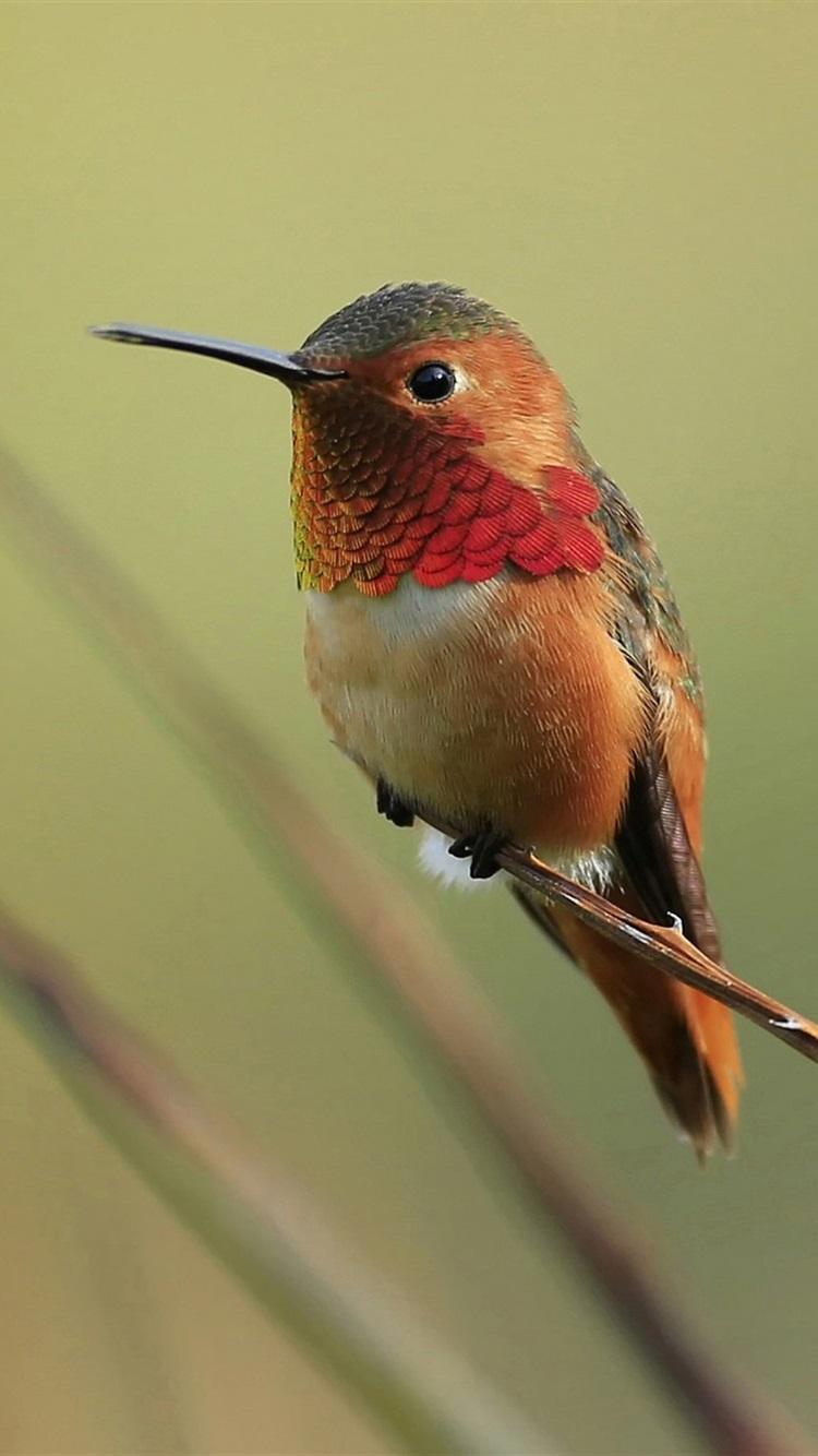 Iphone wallpaper free hummingbird