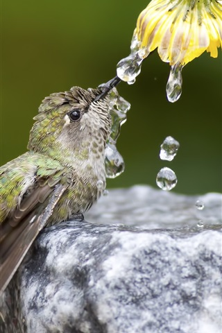 iPhone Wallpaper Hummingbird drink water, flower