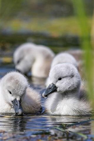 iPhone Wallpaper Little swans, reeds, water