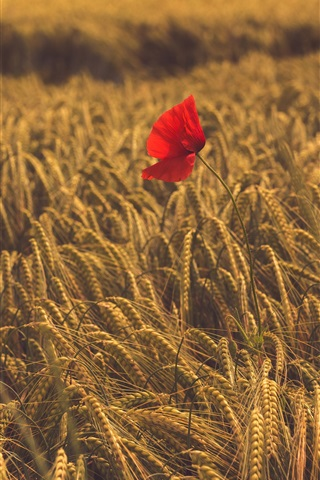 iPhone Wallpaper One red poppy flower in the wheat field